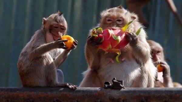 """Фруктовая диета помогла приматам """"отрастить"""" большой мозг"""