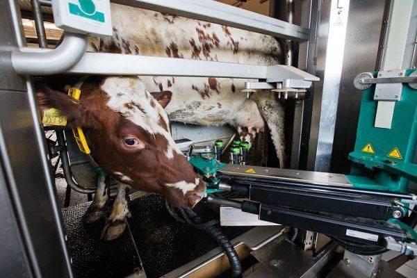 Роботы-дояры: в России стартует программа модернизации старых молочных ферм