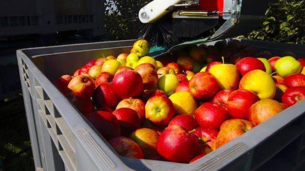 А польские яблоки так и попадают в Россию контрабандой