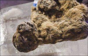 Исследователи изучат идеально сохранившегося пещерного львенка