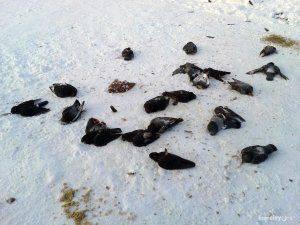 Зоологи выяснили причину массовой гибели птиц в Чите